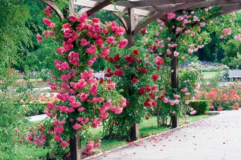 Klettergerüst Rosen : Märchenhafte kletterrosen garten center saeriswil