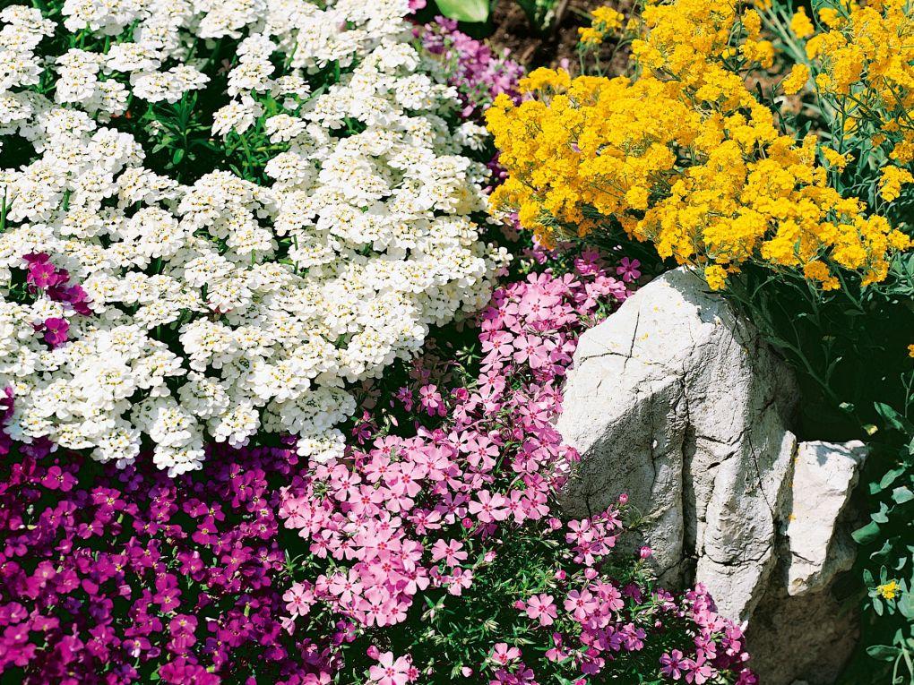 Winterharte pflanzen fr steingarten amazing aster alpinus for Graser fur steingarten winterhart